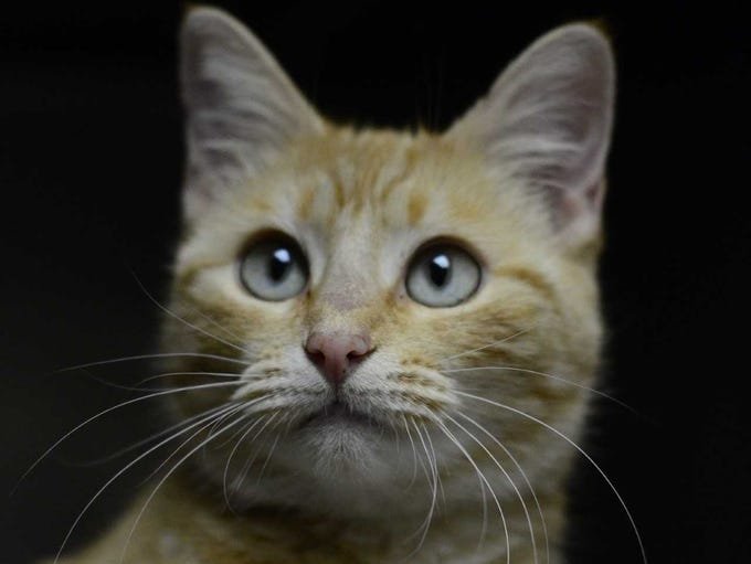 Barbie - Female domestic short hair, about 2.5 years