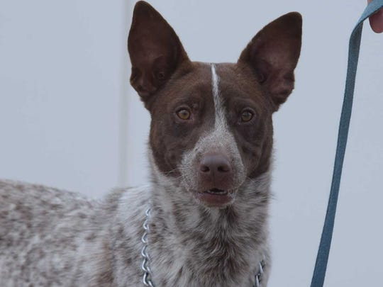 Benny - Male (neutered) heeler Mix, about 2 years old. Intake date: 7/10/2017