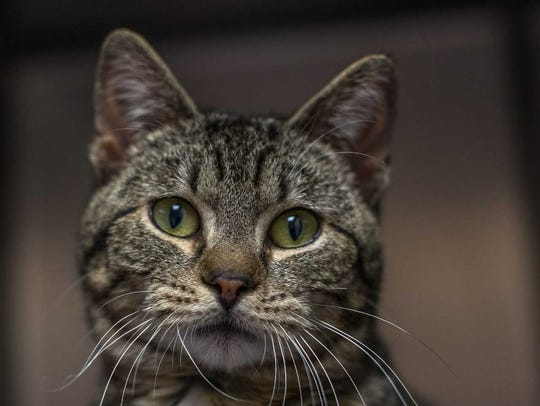 Cheerio - Male (neutered) domestic short hair, about