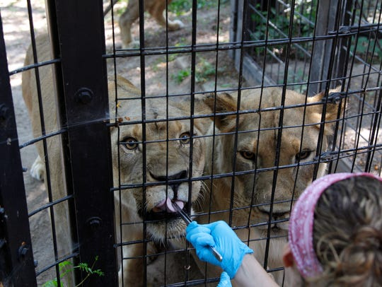 Zookeeper Annie Marcum feeds a pair of female lions,