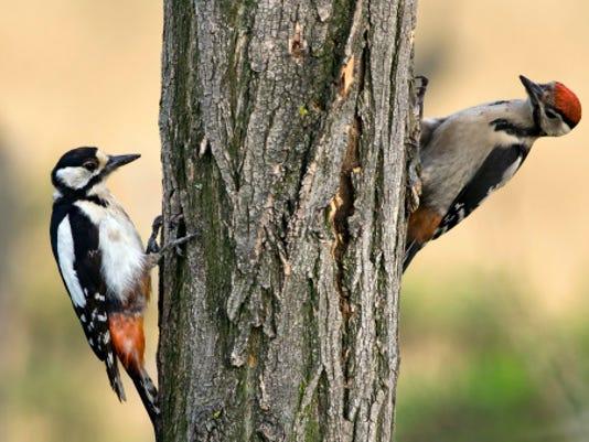 635485424503900393-Woodpecker