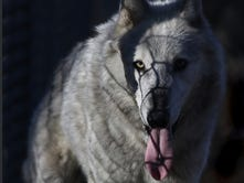 5 things to know for Wolf Week in Wisconsin