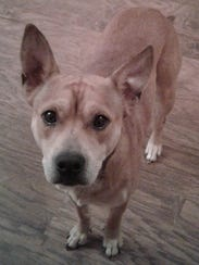 Bear is a young, neutered, male Australian cattle dog/blue