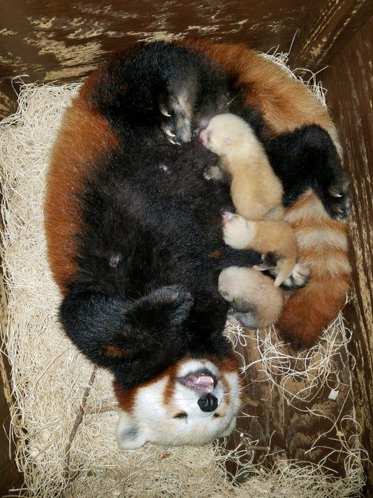 636650069050162460-PandaMomCubs.jpg