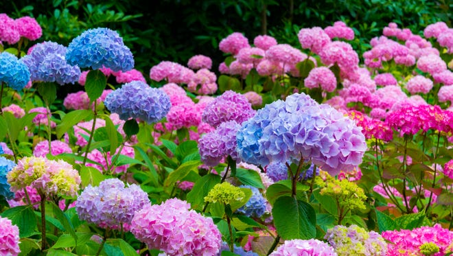 Purple, blue and pink Hydrangea flowers.