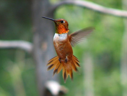 The rufous hummingbird migrates from as far away as