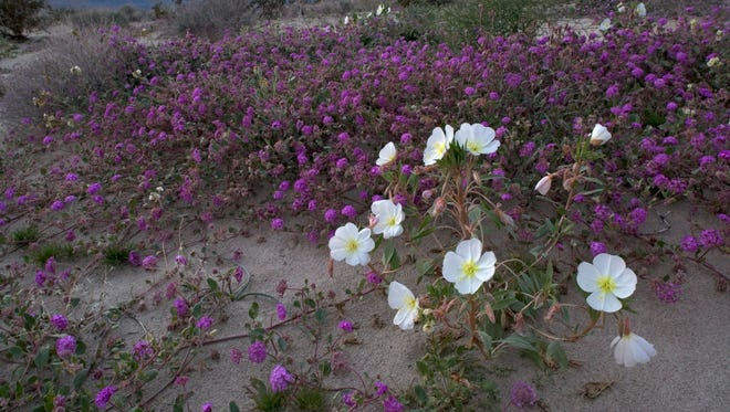 A file photo of Anza-Borrego Desert State Park, Calif., blooming after a wet winter.