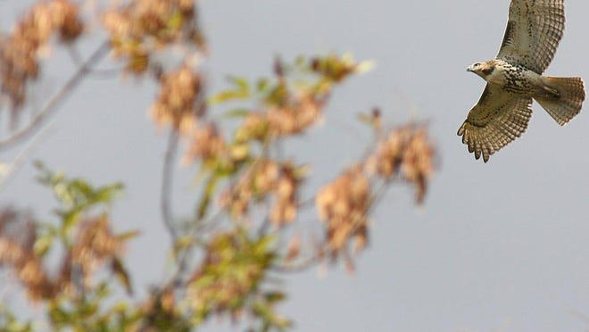 Hike to the Wildcat Ridge Hawk Watch in Rockaway Township on Saturday.