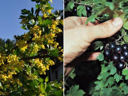Gardening-Native Frui_Schu.jpg