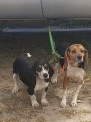 Biggie, left, and Jed were part of the team of law enforcement officers who tracked down and captured Victor Kirksey, who allegedly shot a police officer Monday, June 18, 2018.