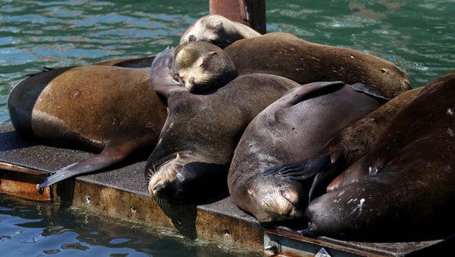 California sea lions rest on a barge as visitors watch them from a boardwalk in the Yaquina Bay in Newport, Ore., on Saturday, Aug. 19, 2017.