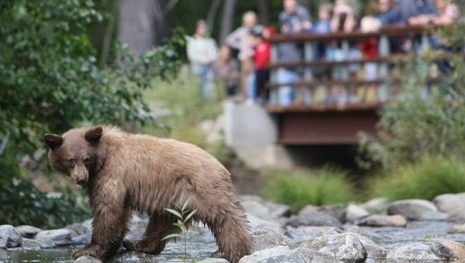 A young bear fishes for spawning kokanee salmon in Taylor Creek in South Lake Tahoe, Calif., on Friday, Oct. 3, 2008.