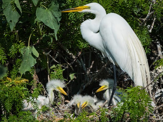 Great-egret-nest.jpg