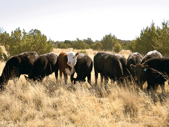 Cattle graze at NMSU Corona Range and Livestock Research