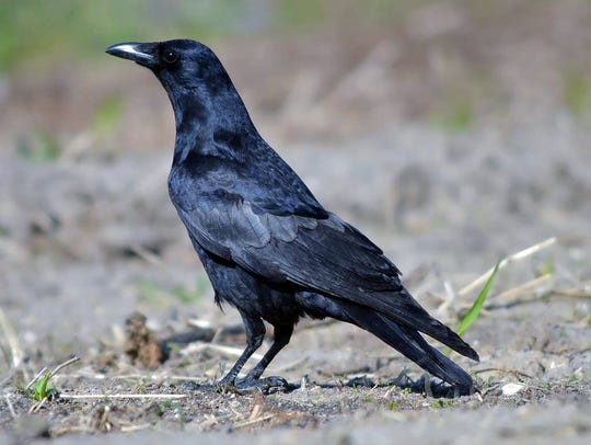 Fish crows are now seen — and heard — statewide in