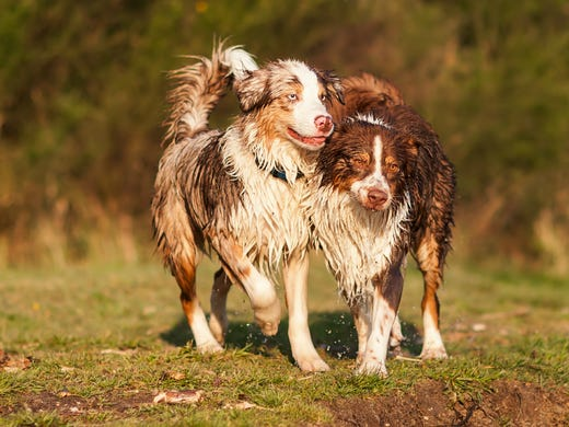 17. Australian shepherds • 2016 rank: 16 • 2007 rank: