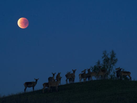 """Reindeers are seen silhouetted against the """"blood moon"""""""