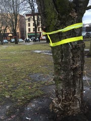 A diseased and root-bound tree, proposed to be removed as part of changes to City Hall Park, is marked with ribbons and a heart on Feb. 21, 2018.