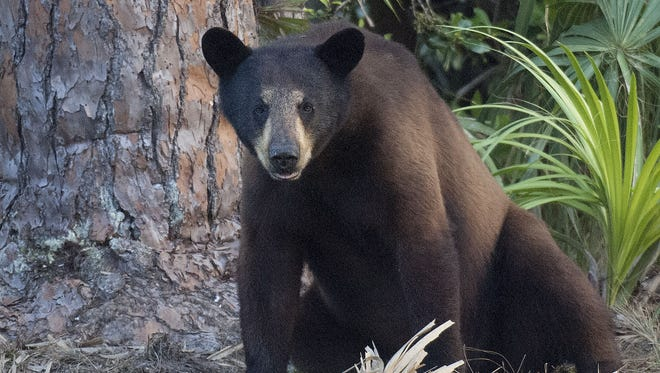 A black bear rests at the Green Glades West hunting camp. This year's hunt starts Saturday.