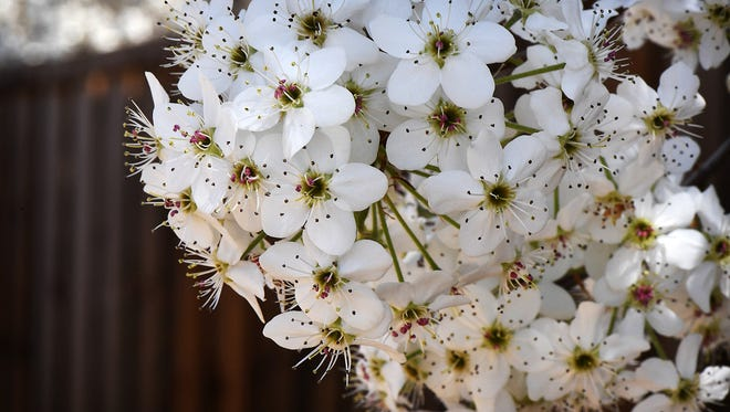 Bradford pear tree blossoms faithfully signal the approach of Spring and the arrival of pollen.