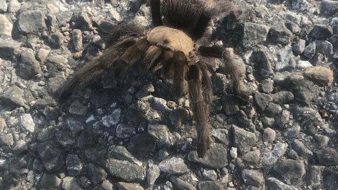 Tarantulas, such as this Texas brown tarantula, are most often spotted crossing rural roads in late afternoons in the summer and fall. They are not harmful to most humans and can live for up to 40 years in the wild.