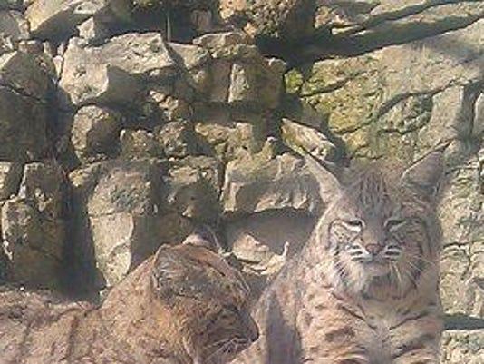 KEW 0218 zoupart bruemmer zoo bobcats