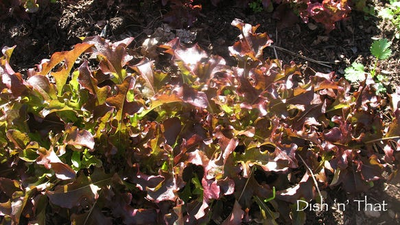 Overwintered lettuces.