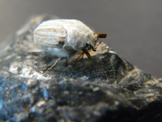 636409010574755829-beetle.JPG