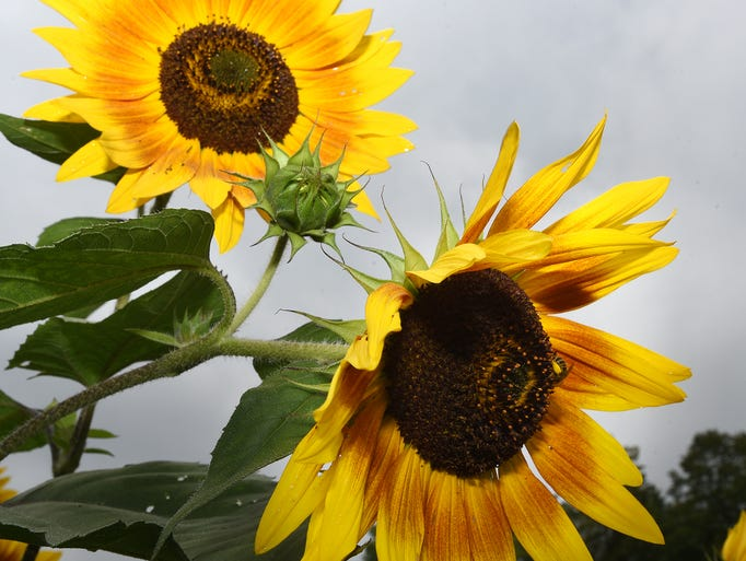 Pollen-laden bees work on a bunch of sunflowers at