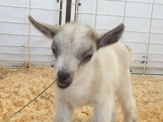635824109542059657-goat-1-AP-ODD-Baby-Goat-Stolen-AZHO
