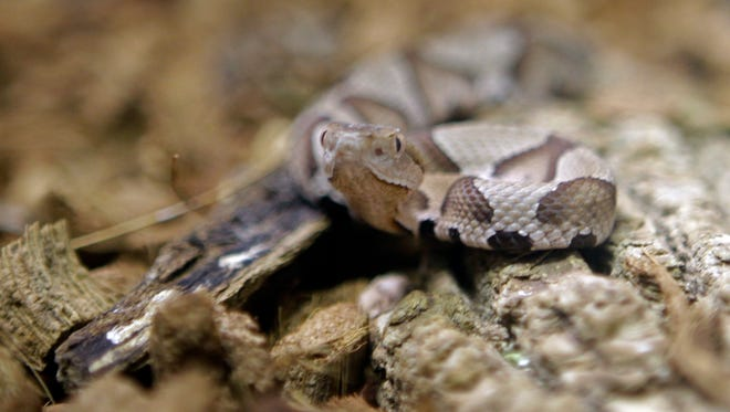 A copperhead snake at the Nature Museum in Charlotte, N.C.