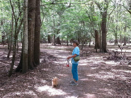 Nose to the ground, Lucca sniffs his way through the woods at Manatee Springs State Park.