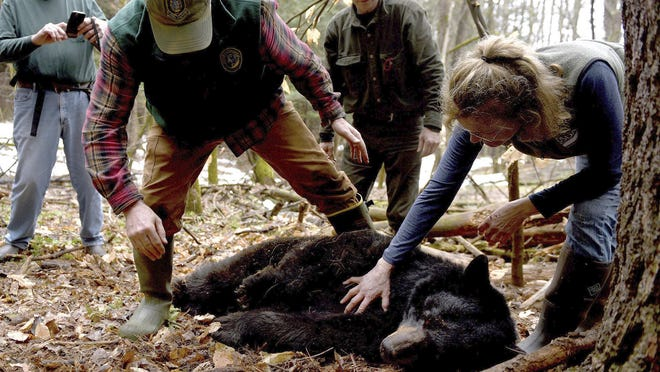 In this April 13, 2018, file photo, Andrew Timmins, bear project leader with the N.H. Department of Fish and Game, steps over a tranquilized black bear with Nancy Comeau, right, of the USDA wildlife services, in Hanover. The bear, tagged and relocated to far northern New Hampshire, was found dead in late August 2020. One of its three cubs was struck and killed by a bus Monday, Sept. 14, 2020, after it ran onto Route 10 in West Lebanon.