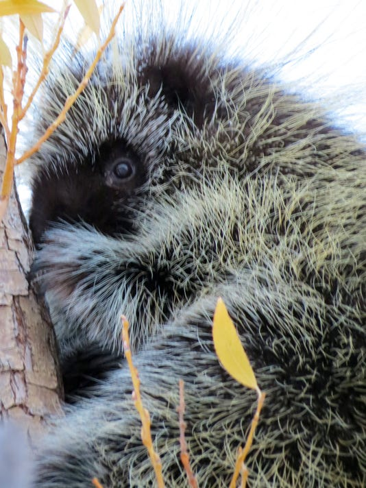 -porcupine.jpg_20141117.jpg