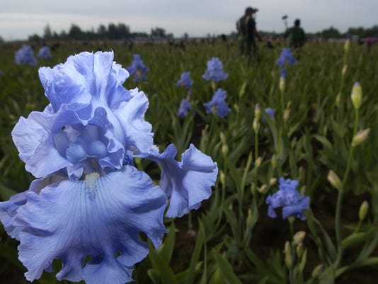 Shreiner's Iris Bloom