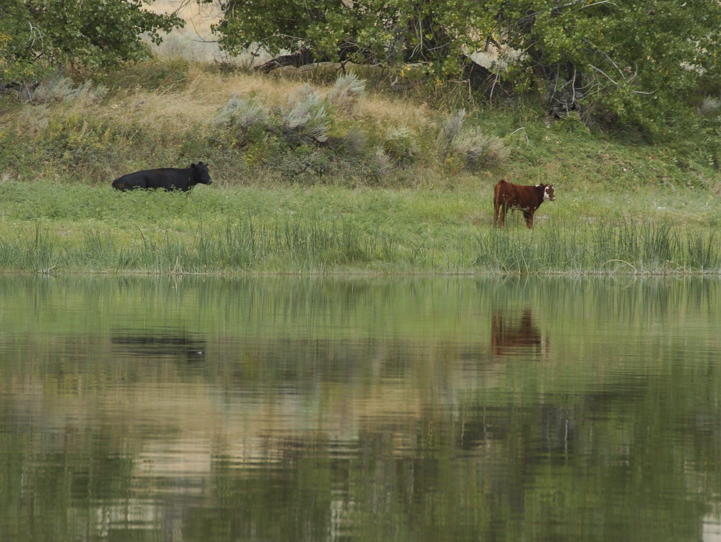 Cows graze along a section of the Missouri River that
