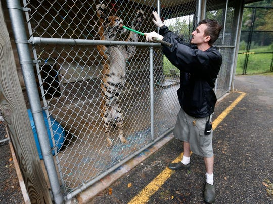 "Brock Andrus, the assistant Asia area zookeeper, feeds the tiger Petra with meat on the end of a stick at the Dickerson Park Zoo on Monday, July 25, 2016. Petra's leg needed to be amputated after another tiger caused severe damage to it during a ""soft introduction"" on September 13."