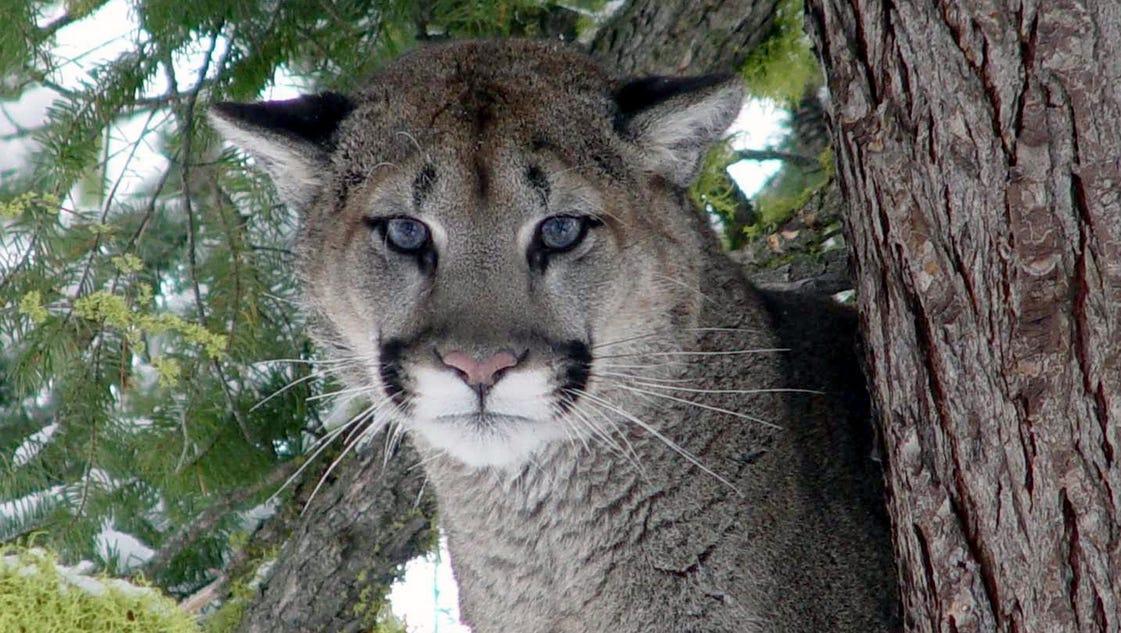 la pine cougars personals Craigslist fournit des petites annonces locales et des forums pour l'emploi, le logement, la vente, les services, la communauté locale et les événements.