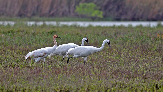 This family of whooping cranes was at the Aransas National Wildlife Refuge last winter. Notice the cinnamon plumage on the juvenile walking behind its parents.