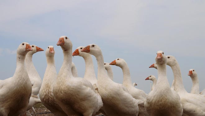 South Dakota is home to the country's largest goose processor.