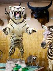 Tigers are among the nearly 400 animals in the Shell Factory's taxidermy collection in North Fort Myers. The Shell Factory claims it is the largest collection on display in the country.