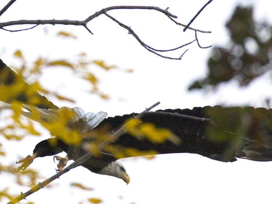 wild-Eagle.jpg