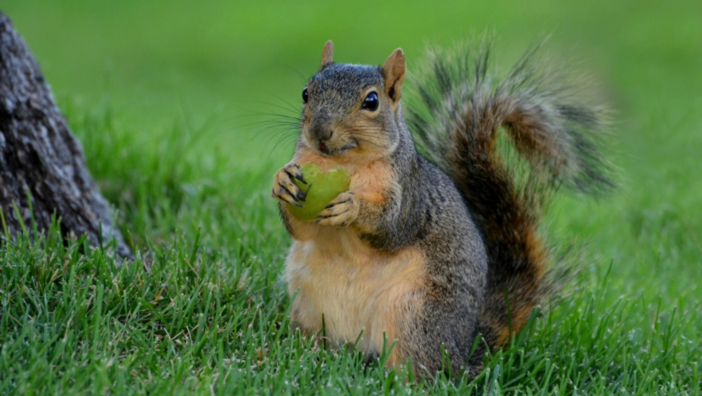 feeding squirrels now legal in loveland - Pictures Of Squirrels