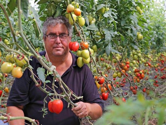 PNI 0812 Tomatoes