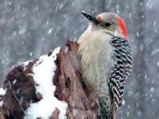 636178528209833151-Birds-Woodpecker-in-Winter.jpg