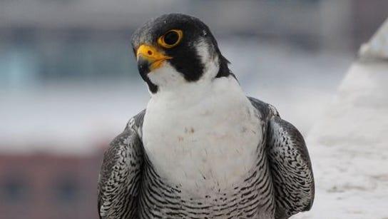 Peregrine falcon Kinney in 2011.