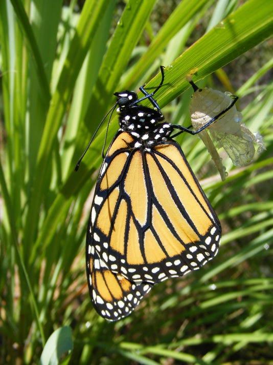 BMN 091715 B3 Monarch day