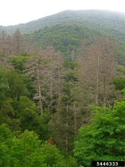 A stand of hemlock trees shows the damage from a hemlock woolly adelgid infestation.