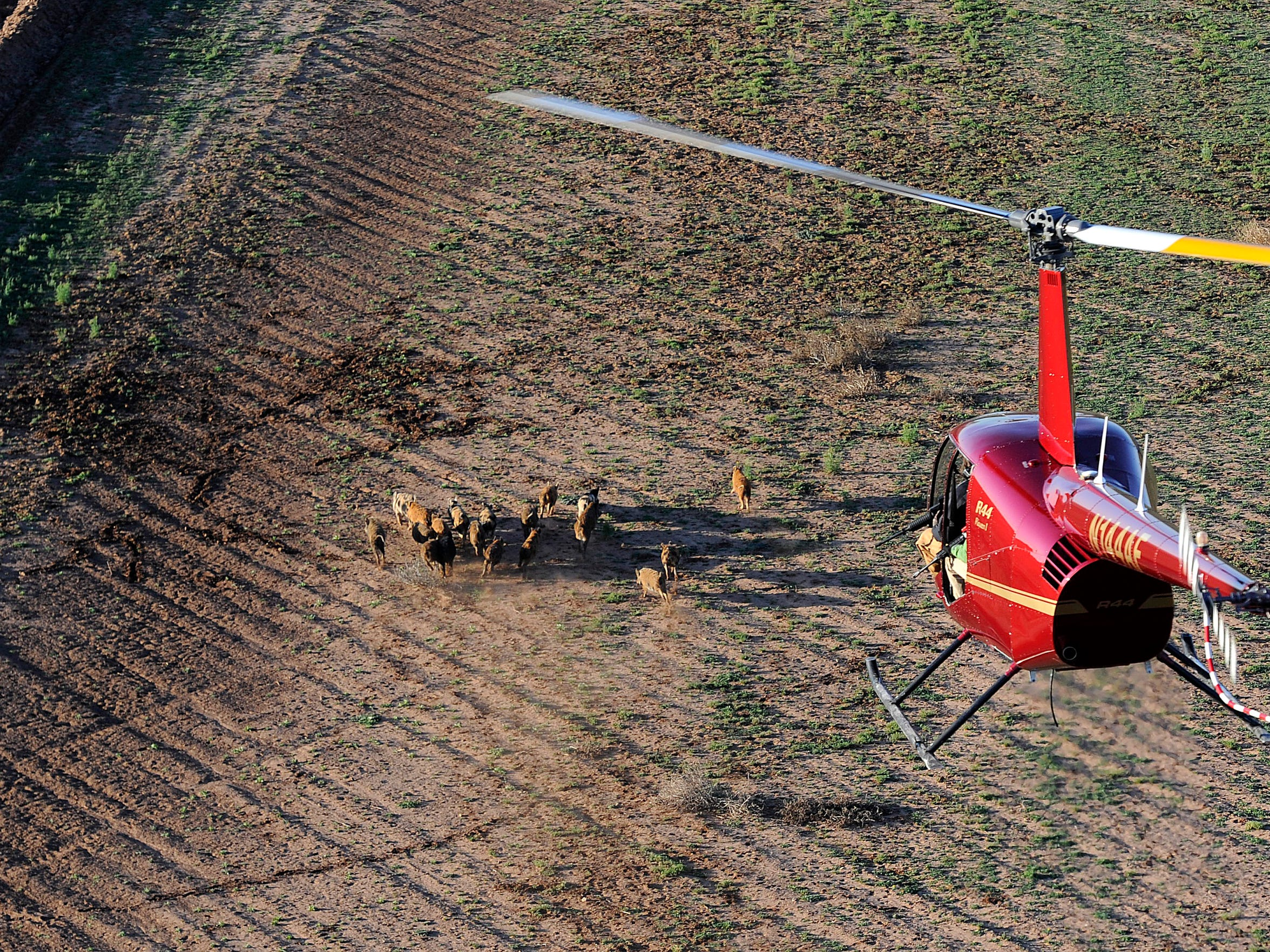 Feral hogs scatter across a field as a helicopter with