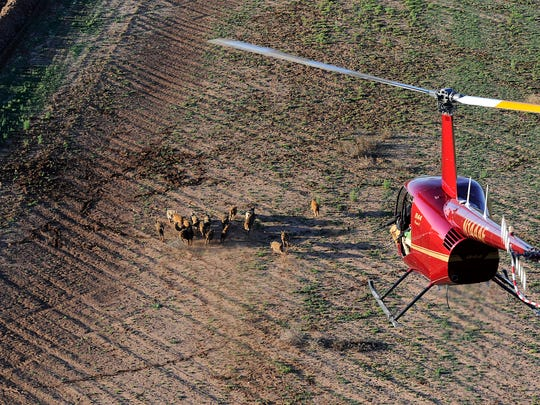 Feral hogs scatter across a field as a helicopter with hunters goes in for a pass Feb. 25 in Fisher County.